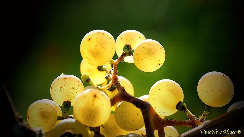 Le vignoble alsacien face aux changements climatiques et agronomiques